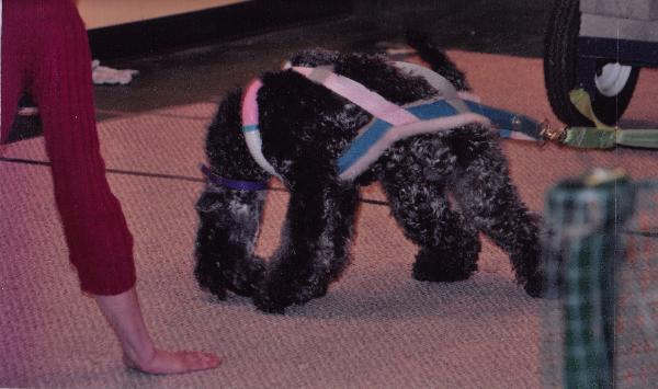 Kerry Blue Terrier New Jersey Kerry Blue Terrier Wei...